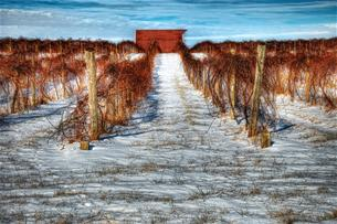 Grape Vines in the Snow